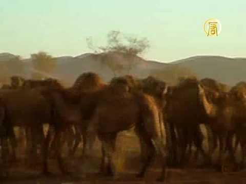 В австралийском посёлке - нашествие верблюдов