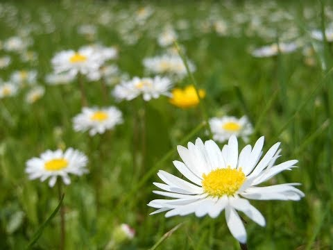 Полевые Цветы которые так любят Пчелки и Бабочки