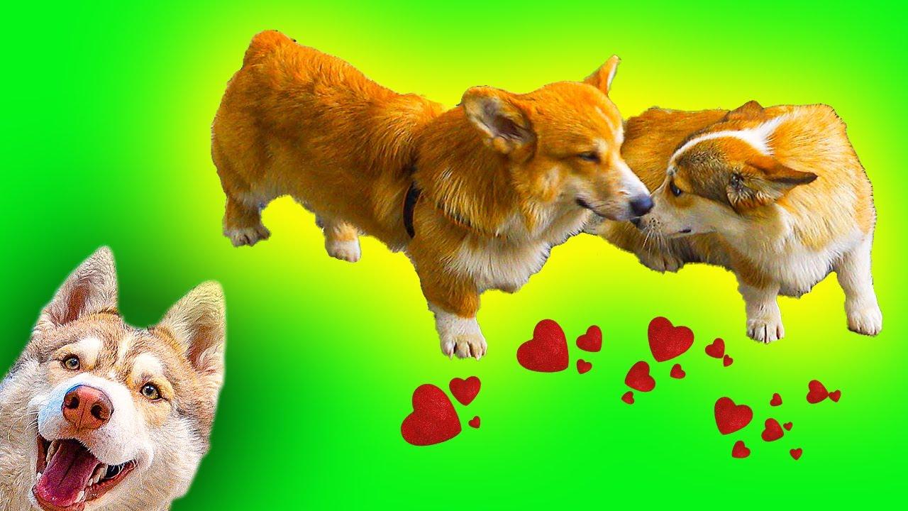 Ищем ЦЫПОЧКУ для КОРЖИКА!! (Хаски Бублик) Говорящая собака Mister Booble