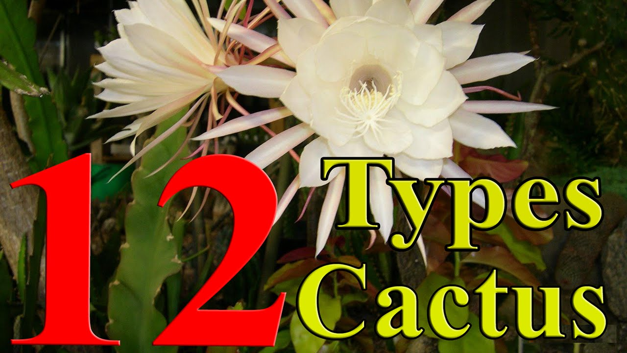 Cactus plants 12 types of cactus you can grow at home - What is cactus plant good for ...