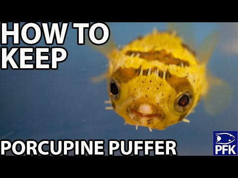 HOW TO KEEP PORCUPINE PUFFER  - Diodon Holocanthus