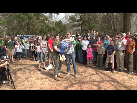 Eagle Release at the Carolina Raptor Center