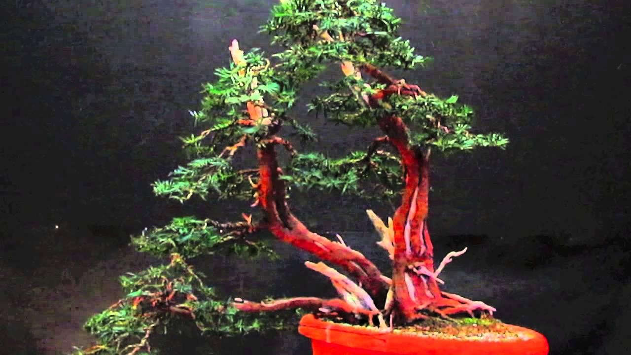 I Tre Moschettieri Taxus Baccata Bonsai Youtube Wiring Yew