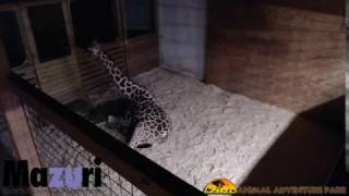 Animal Adventure Park Giraffe Cam(April the Giraffe is expecting a calf! Follow the process as she and her mate, Oliver, welcome a new baby. Animal Adventure Park Harpursville, NY www., 2017-02-23T03:11:59.000Z)