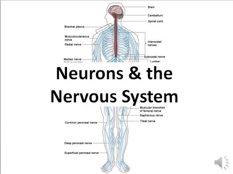 Neurons & the Nervous System (regular biology)