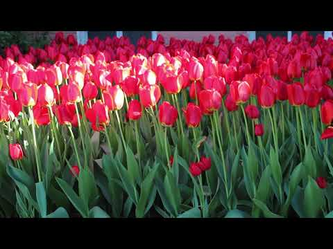 relaxing-nature-sounds---tulip-flowers---1-hours-relaxation-video