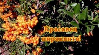 видео Пираканта: виды и сорта, выращивание, обрезка, размножение, зимовка