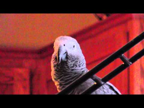Harlot the African Grey Parrot says: Good Morning, does the wolf whistle, sponge bob square pants