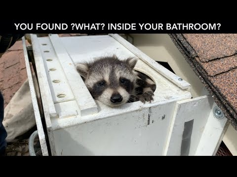 Raccoon Crashes Through Bathroom Ceiling!