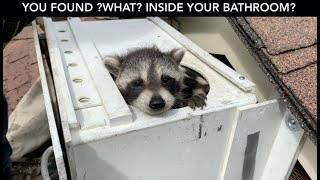 Raccoon Crashes Through Bathroom Ceiling!