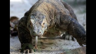 DOCUMENTARY 2018 - The Komodo Dragon   BBC Documentary Animal Earth