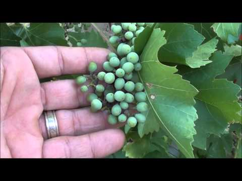 Can you GROW GRAPES in the DESERT?