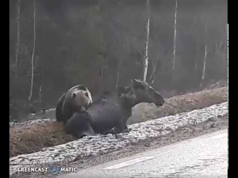 Как медведь охотится на лося видео
