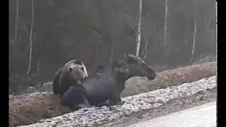 Медведь у дороги загрыз лося (18+)
