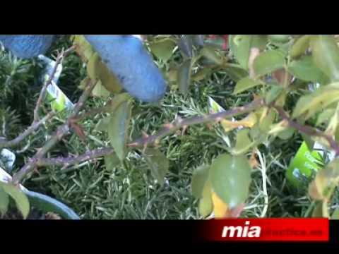Jardinería Poda De Un Rosal Youtube