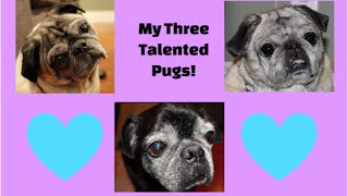 My Three Talented Pugs