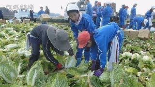 児童がハクサイ収穫体験 結城・江川南小 3年生は競りも見学
