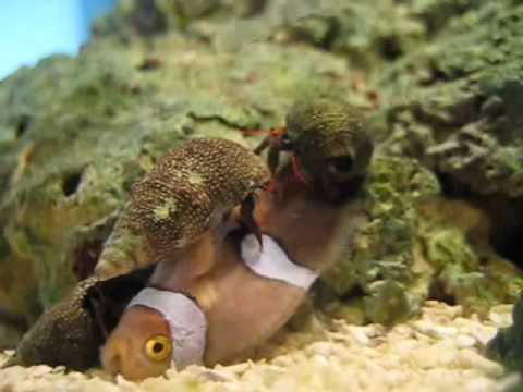 3 hermit crabs eating a clown fish youtube for What do clown fish eat