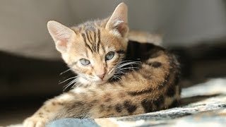 Amazing Animal Facts!: The Bengals