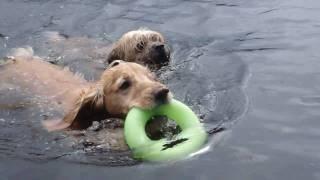 Border Terrier,english Cocker Spaniel Go Swimming