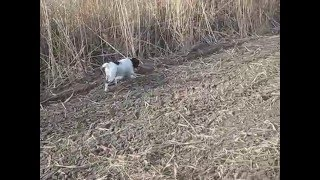Работа Русского охотничьего спаниеля по зайцу