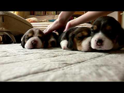 beagle pups : day 14 pup barks