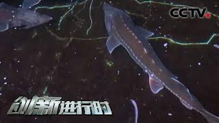 """被称为水中的""""活化石""""的鲟鳇鱼能否人工繁育后代延续种群?20210331  《创新进行时》 CCTV科教 - YouTube"""