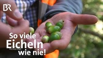 Eichen im Spessart: So viele Eicheln - ein besonderes Jahr   Zwischen Spessart und Karwendel