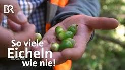Eichen im Spessart: So viele Eicheln - ein besonderes Jahr | Zwischen Spessart und Karwendel