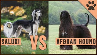 Saluki vs Afghan Hound  Which Breed Is Better?