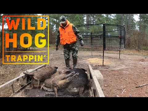 "WILD HOG TRAPPING 🐗🐗🐗""Two Traps At One Time😲"