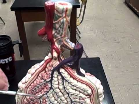 A & P II video 11 alveolar level of lungs Anatomy Physiology 2 study guide models