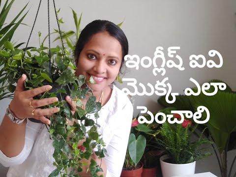 English ivy as a house plant || ఇంగ్లీష్ ఐవీ