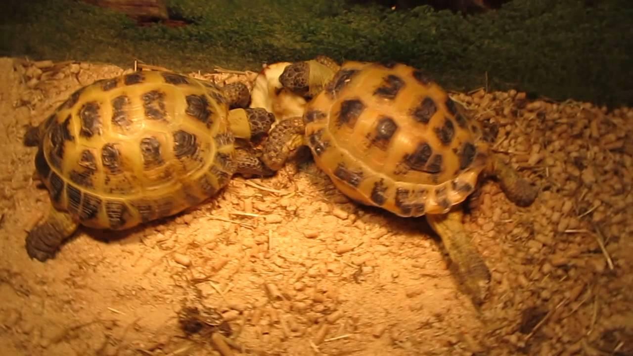 Среднеазиатские черепахи кушают - YouTube