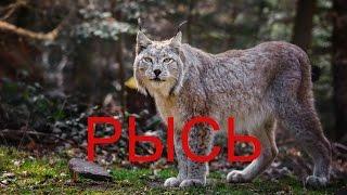 Рысь — род хищных млекопитающих семейства кошачьих, наиболее близкий к роду собственно кошек.