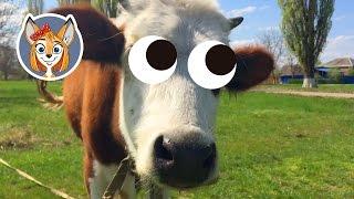 Корова и теленок на лужайке. Ребенок знакомится с животными в станице