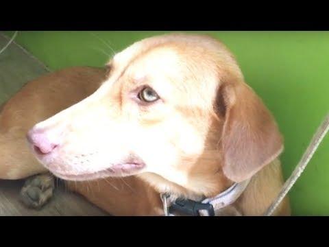 Canine Parvovirus in Dogs (CPV) MAY PARVOVIRUS ANG BUNSO NAMIN