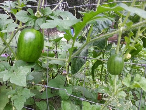 Great Yield Idea Tips Growing Vegetables Garden In Texas