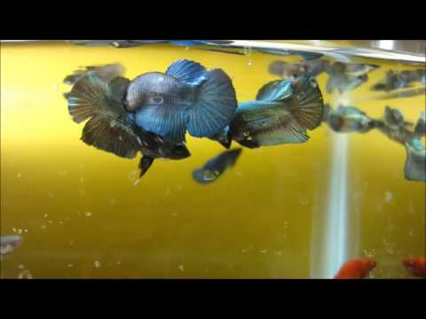 Young Betta Fishes Playing Dominance