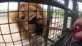 九洲自然動物園-餵獅子