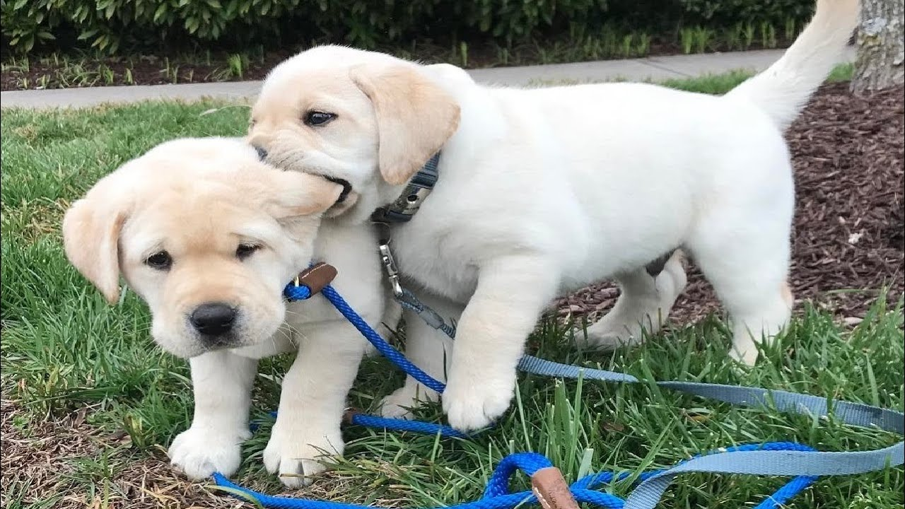 Funniest & Cutest Labrador Puppies #2 - Funny Puppy Videos 2020