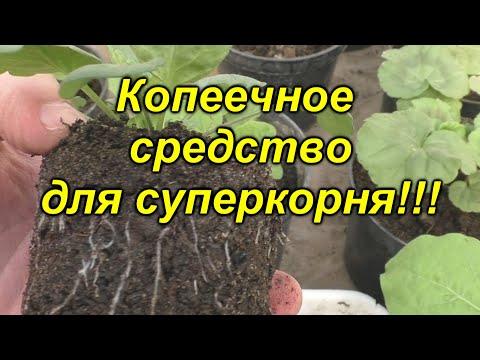 От этого средства корень на рассаде будет просто супер! Обязательно попробуйте! | укоренитель | выращивание | стимулятор | применение | вырастить | янтарная | сладкого | рассада | кислота | корень