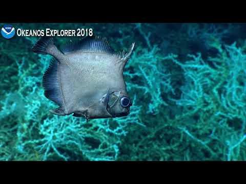 Okeanos Explorer Video Bite: Deep Sea Oreo Fish