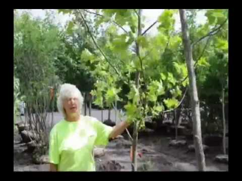 Tulip poplar trees what to expect when planting