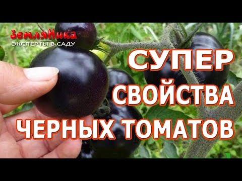 Томаты лекари. Черные томаты и их полезные свойства. Обзор сортов черных томатов.