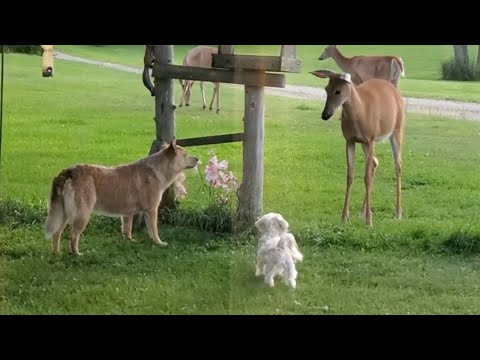 Fearless deer not intimidated by barking dogs
