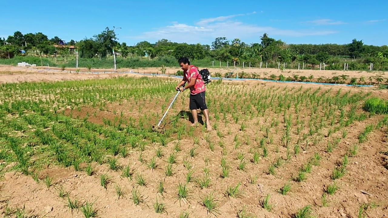 ซื้อเครื่องมือมากำจัดวัชพืชในนาข้าวช่วยทุ่นแรงได้งานเร็ว
