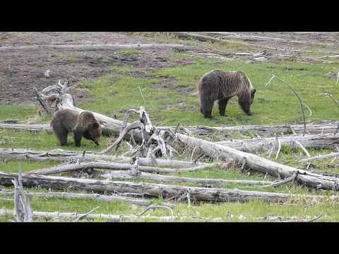 Grizzly Bear Female with a Cub in Yellowstone - USA 05/2017