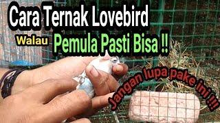 Download Video Ternak lovebird, ini Cara yang Paling Mudah bagi Pemula MP3 3GP MP4