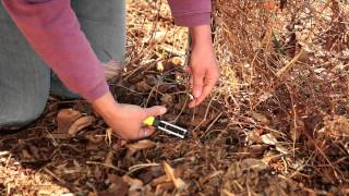 How to Prune Clematis Sugar Candy : Pruning Tips